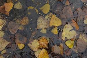 Autumn Leaves Water