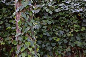 Tree Climbing Vine