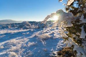 Sun shines on juniper branch