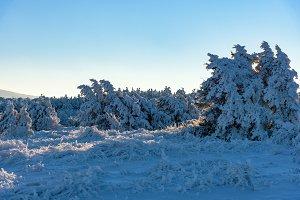 Winter sunset rays falls on juniper