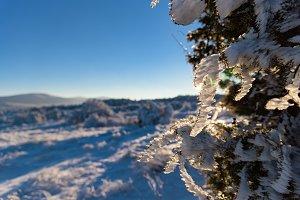 Sun rays on frozen juniper branch