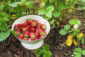 Fresh strawberries in a white bowl