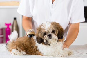 Vet with his dog Shih Tzu