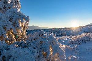 Sun rays fall on frozen juniper bush