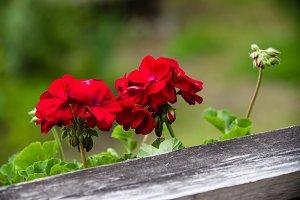 Red geranium flower in bloom