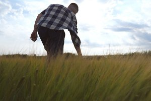Following to male hand moving over wheat growing on the field. Meadow of green grain and man's arm touching seed in summer. Guy walking through cereal field. Close up