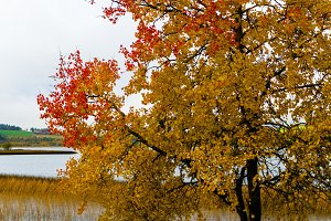 Horizontal vivid yellow red autumn Norway tree landscape paintin