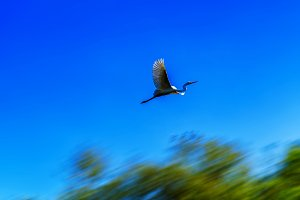 Horizontal flying stork in motion background backdrop abstractio