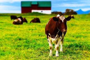 Horizontal vivid Norwegian cow on the field background backdrop