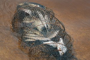 Fish in cage for fishing - river catch