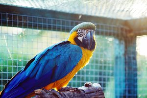 Amazon gold-blue macaw parrot.