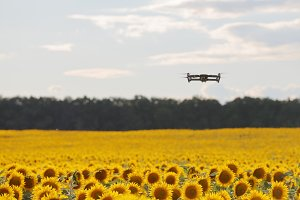 Drone hovering over sunflower field in clear blue sky partly clouded.