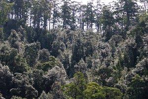 Tasmanian Trees 2