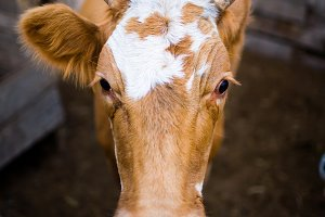 Portrait of a red cow. She looks at the camera