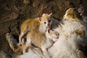 Red-haired cat cuddles with her kittens. Top view