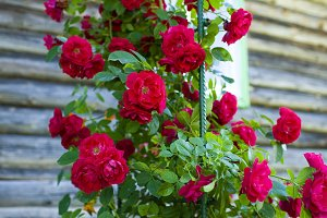 A bush of red roses against the backdrop of a village house