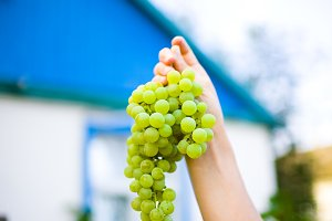 Green grapes in a female hand against the backdrop of a village house