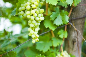White grapes on a branch.