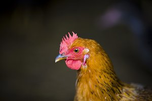 Closeup of a red chicken on a farm in nature. Hens in a free range farm. Chickens walking in the farm yard