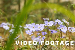 Violet flowwers in the forest