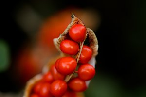 Red berries with pod.