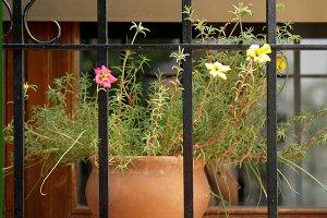 Little hogweed on window