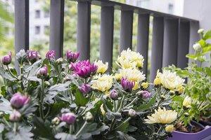 Chrysanthemum flowers on the balcony