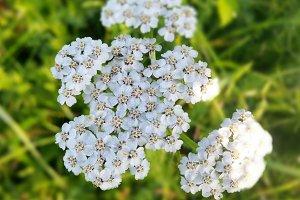 Yarrow Achillea millefolium. Wild plant used in traditional medicine