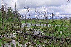 Gloomy dead trees in an impassable swamp