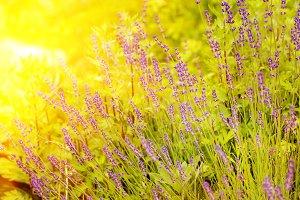 Blossom lavender field