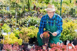 Senior gardener selecting a plant in a nursery.