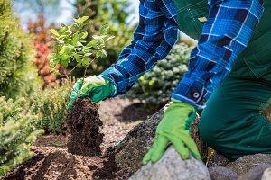 Gardener planting new tree in a garden.