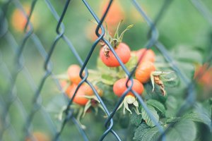 Fruits behind the fence