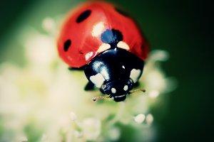Red Ladybug Closeup