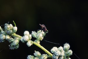 Fly on a Flower with Dew Closeup