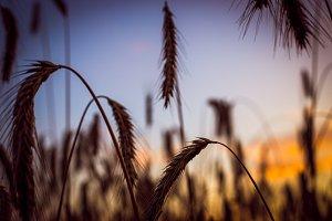 Warmth - Summer Wheat Field