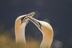 Couple of Northern gannets