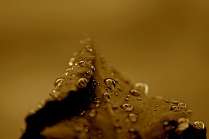Rainy Rose Sepia 2