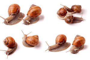 live snail crawling on white background close-up macro. Set or collection