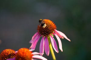 flower of Echinacea purpurea or Hedgehog coneflower