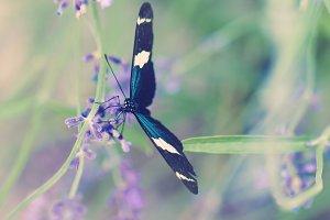 Blue Garden Butterfly