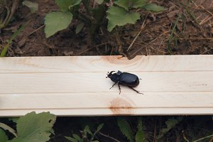 Rhino beetle on wooden bench -telephoto view
