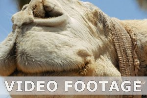 Camel head closeup outdoors