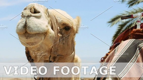 Camel Under Palm Closeup Outdoors