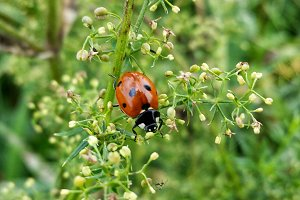 Red ladybug on fresh green grass