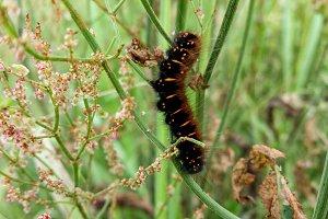 nice fluffy caterpillar