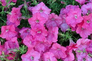 Morning Dew on Pink Flowers