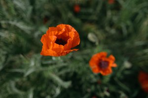 Close Up of an Orange Poppy