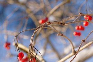 viburnum berries on brunch