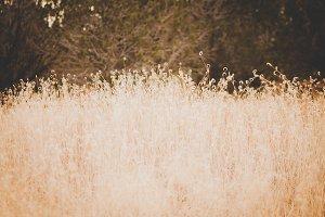 Tall Grass in Winter